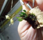 Mini orquídea rara para colecionadores