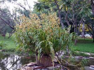 Maior orquidea do mundo