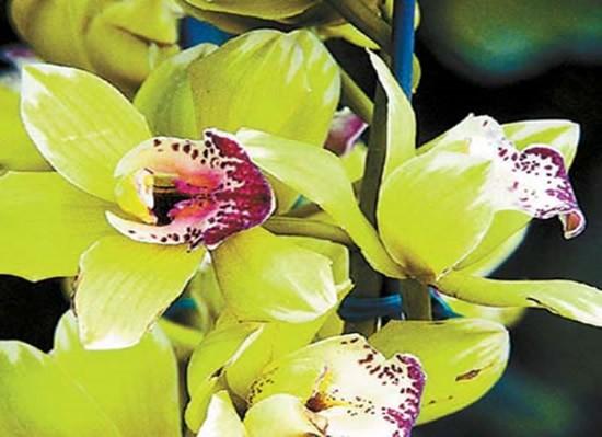 Orquídea mais cara do mundo custa +400 mil