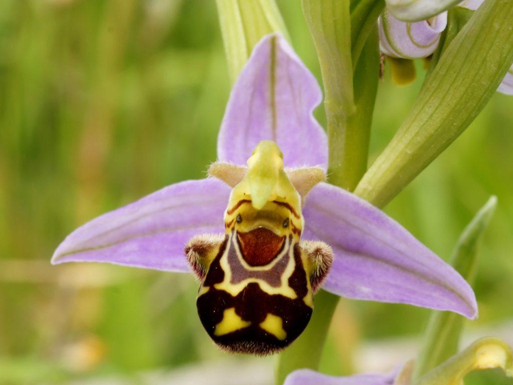 Orquídeas híbridas? O que são? Como são geradas?