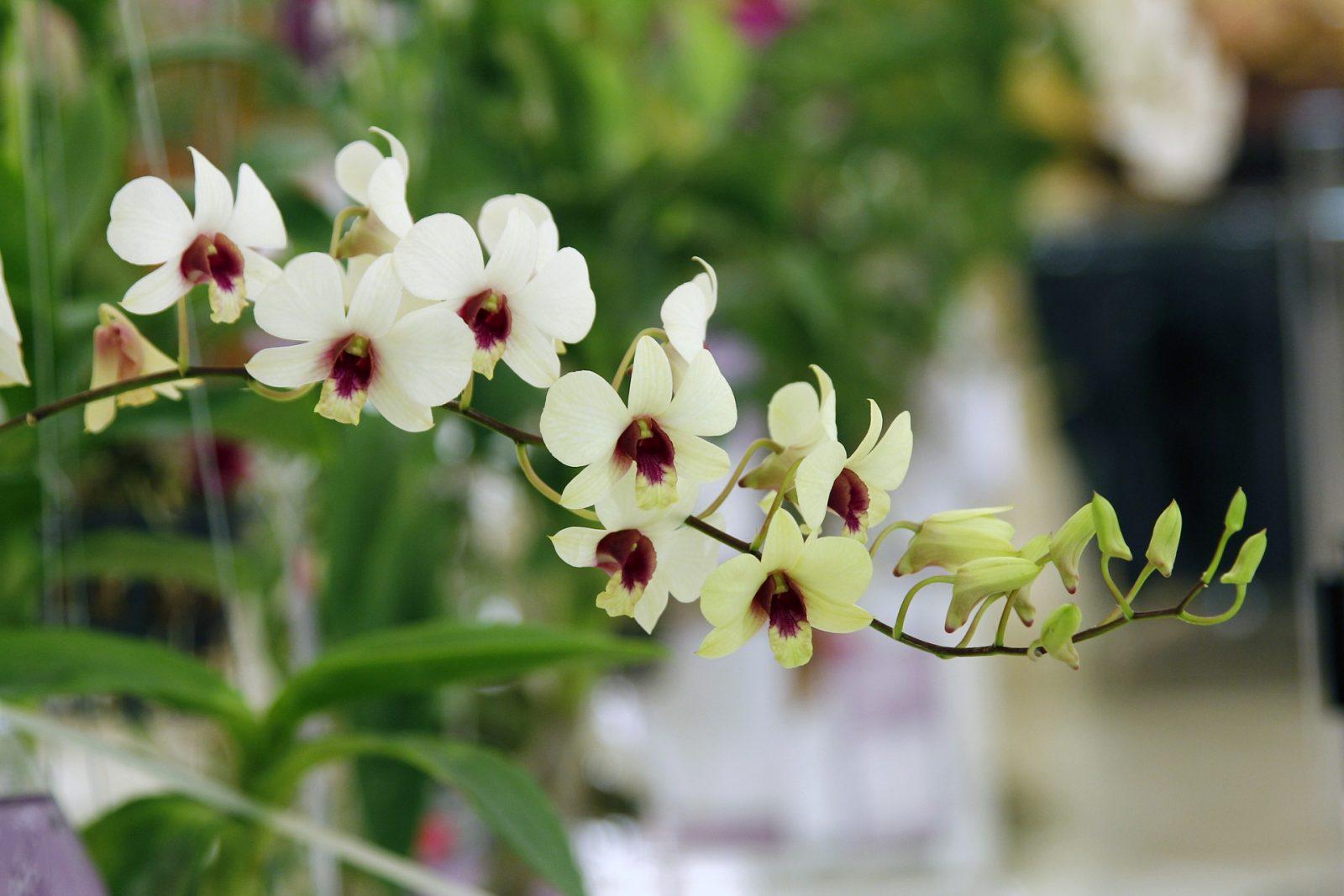 Porque as orquídeas abortam as flores?