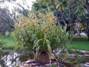 Maior orquídea do mundo