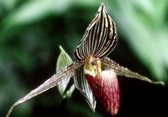 orquidea dourada de Kinabalu
