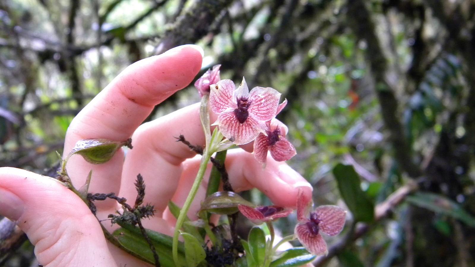 Nova espécie de orquídea  tem uma cabeça de diabo entre as pétalas