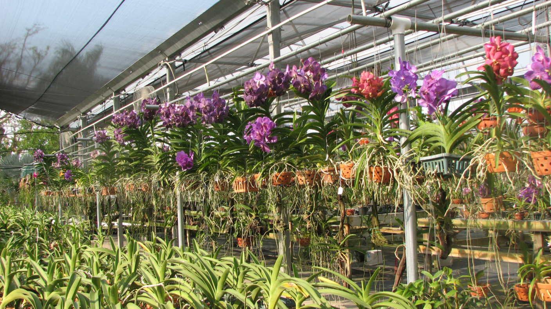 Como plantar orquídea vanda