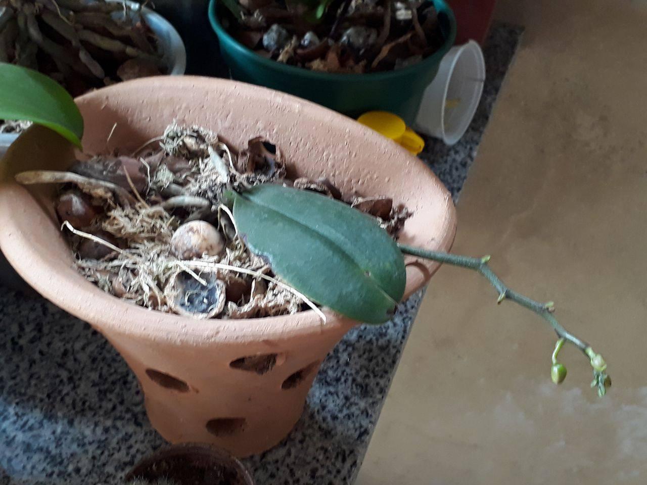 15608703 1197814220273134 1388731071 o - Posso retirar minha orquídea do vaso mesmo estando com flores
