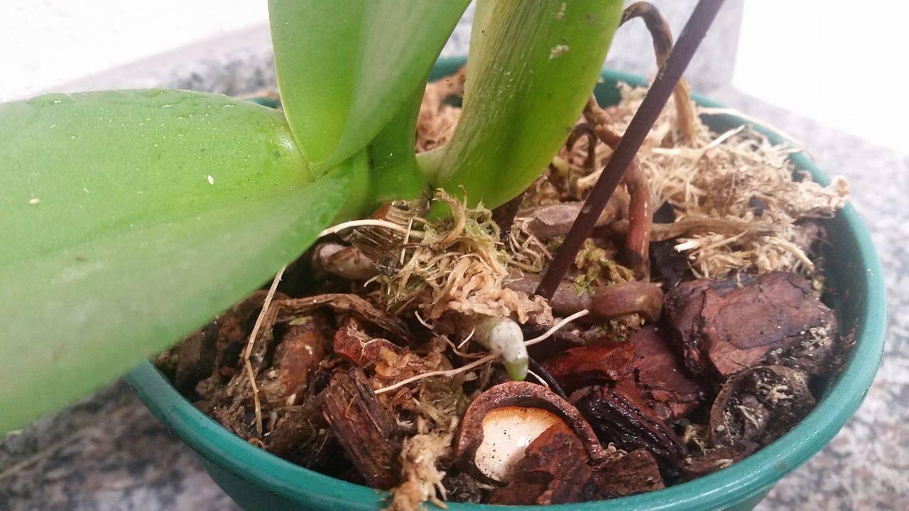 15628624 1197814813606408 737028377 o - Posso retirar minha orquídea do vaso mesmo estando com flores