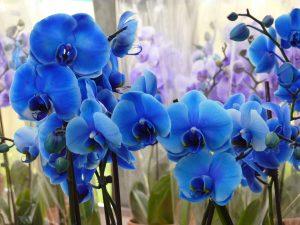 O que é e como cuidar de uma Orquídea Azul