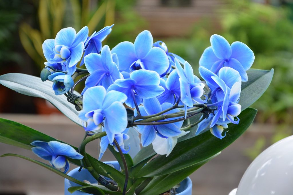 Como cuidar de uma Orquídea Azul