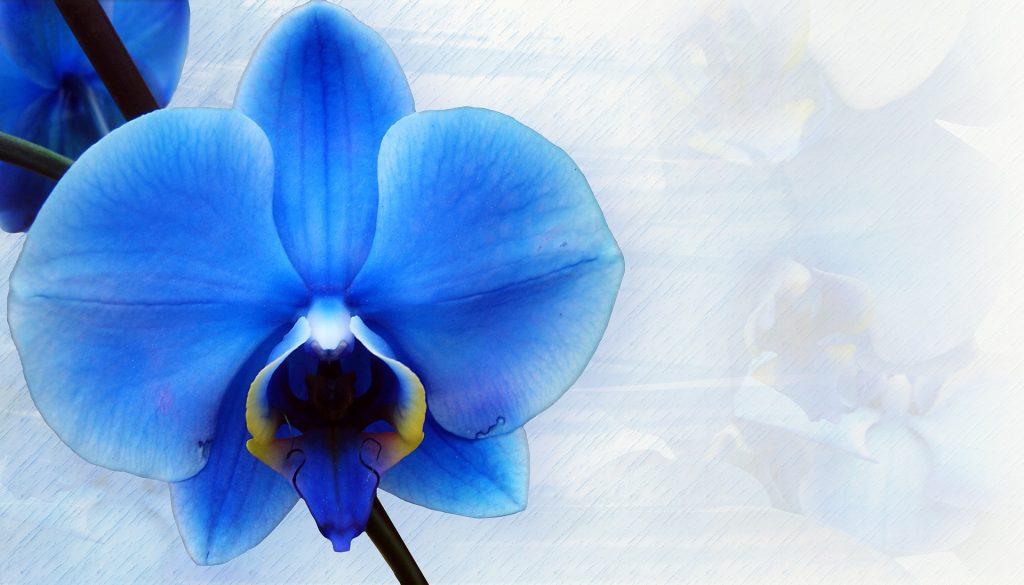 flor de orquídea azul