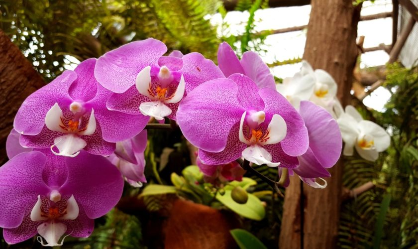Saiba tudo sobre as espécies de orquídeas mais populares do Brasil