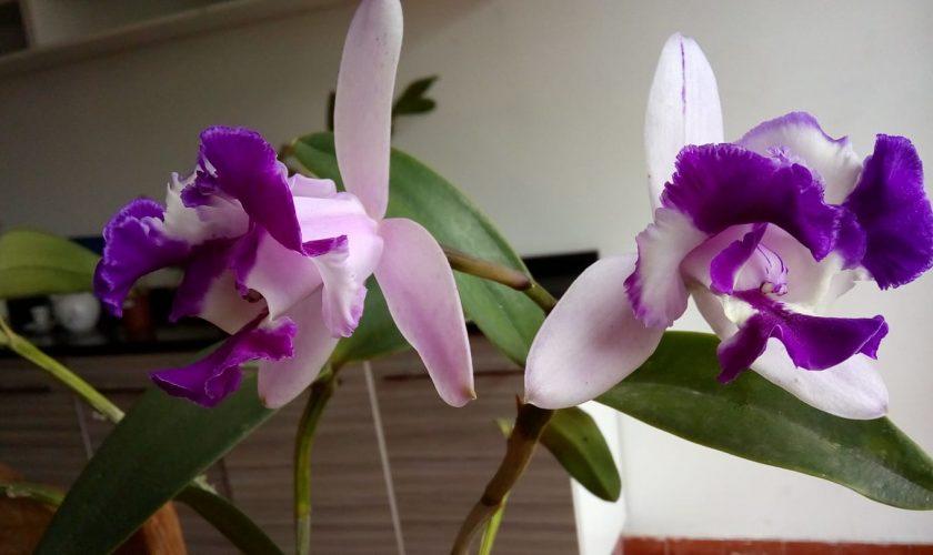 Posso retirar minha orquídea do vaso mesmo estando com flores
