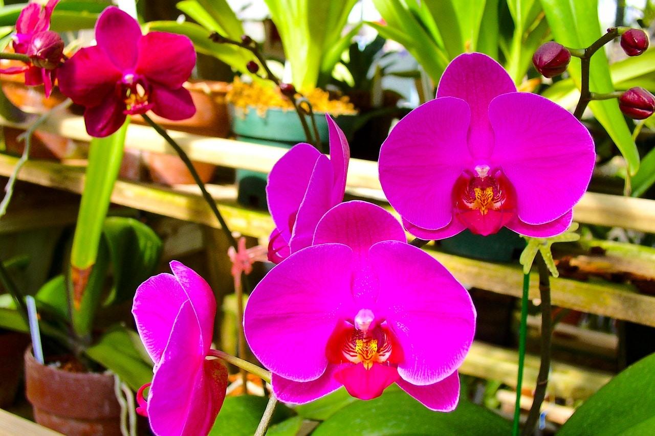 Como tirar muda de orquídea phalaenopsis