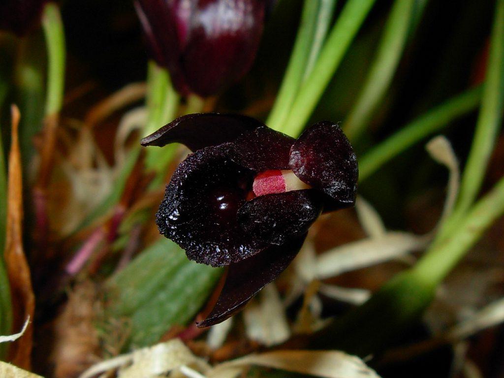 Orquidea-Negra-Maxillaria-Schunkeana