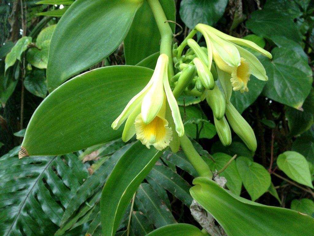 Vanilla-planifolia-Orquidea-Baunilha