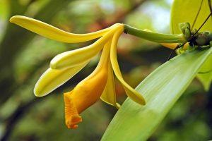 Baunilha-Orquidea