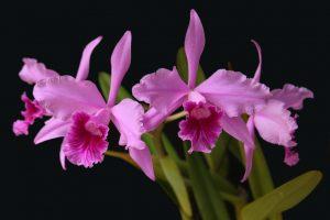 Orquídeas ameaçadas de extinção no Brasil