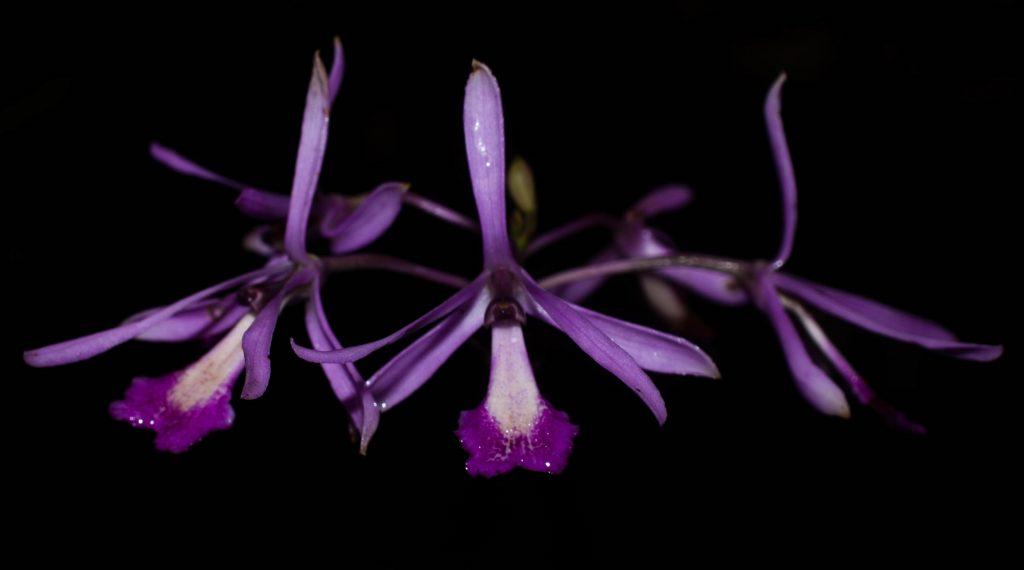 Pseudolaelia-Dutrae