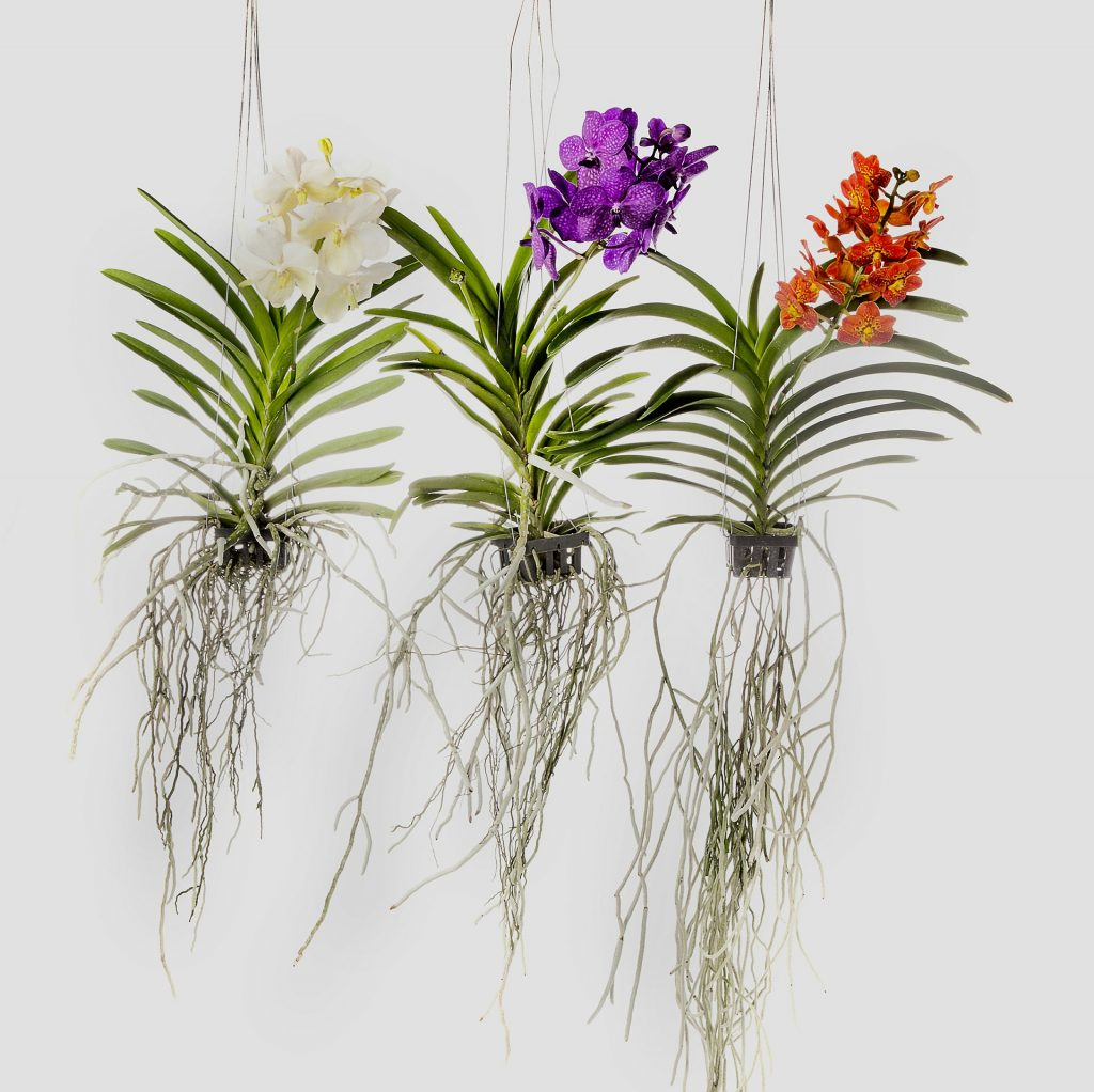 Oqruideas vanda01 1024x1022 - Como cuidar de orquídeas
