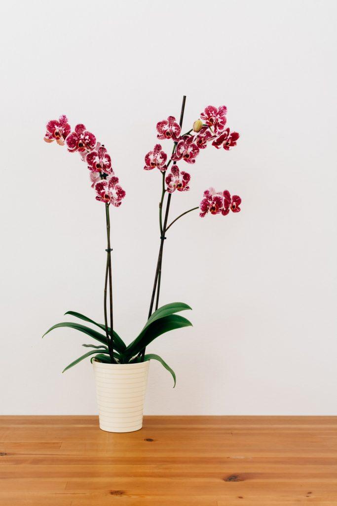 Oquideas em vaso 683x1024 - Como cuidar de orquídeas