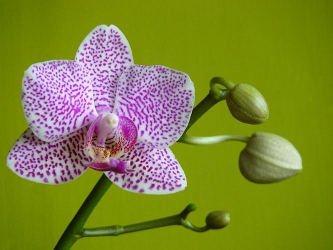 Orquídea Cattleya - Como cuidar de orquídeas