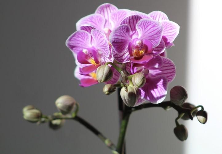 Orquídea Phalaenopsis - Como cuidar de orquídeas