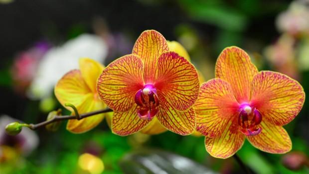 Orquidea borboleta1 - Como cuidar de orquídeas