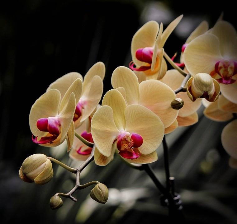 Orquidea de traça - Como cuidar de orquídeas