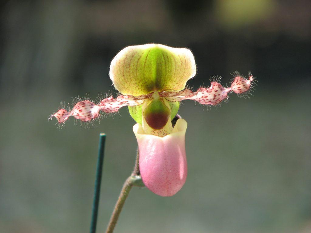 Orquidea sapatinho5 1024x768 - Como cuidar de orquídeas
