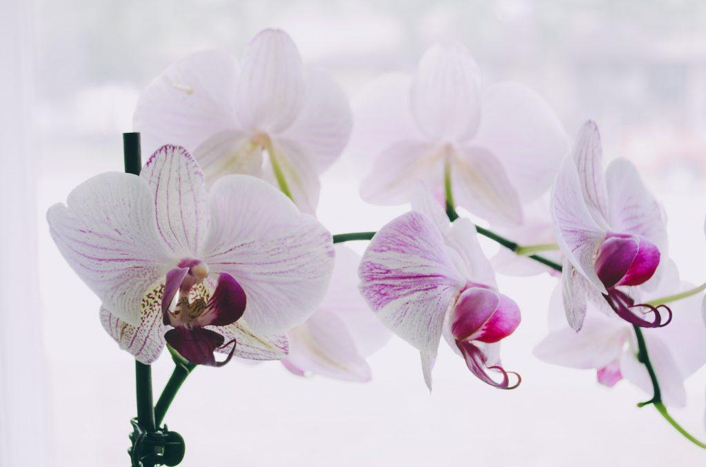 Orquideas catteya6 1024x678 - Como cuidar de orquídeas