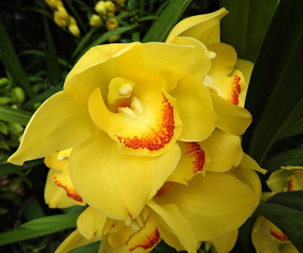 cymbidium 1783370 1920 1024x857 - Como cuidar de orquídeas