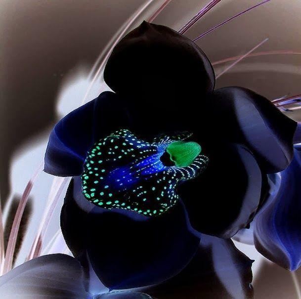 orquídea negra1 - Como cuidar de orquídeas