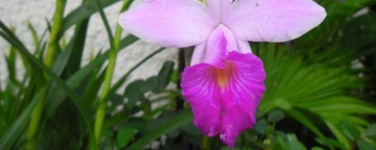 orquidea bambu - Como cuidar de orquídeas
