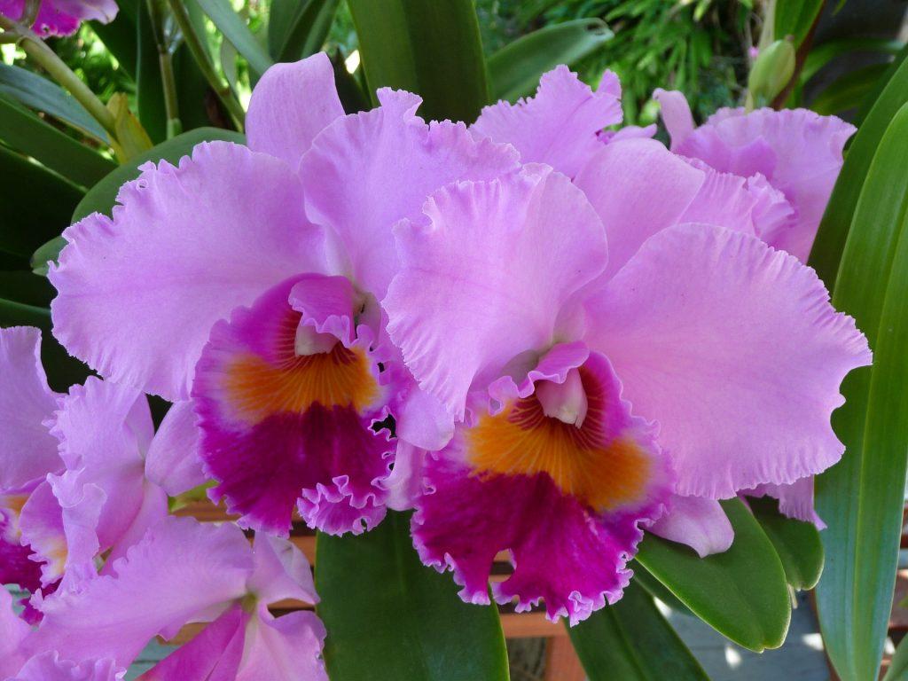 orchid 1521085 1920 1024x768 - TIPOS DE ORQUÍDEAS