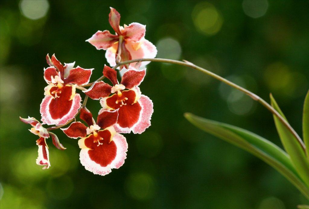 Orquideas chuva de ouro