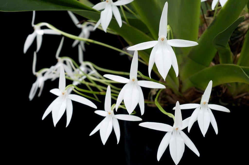 orquideas jumellea