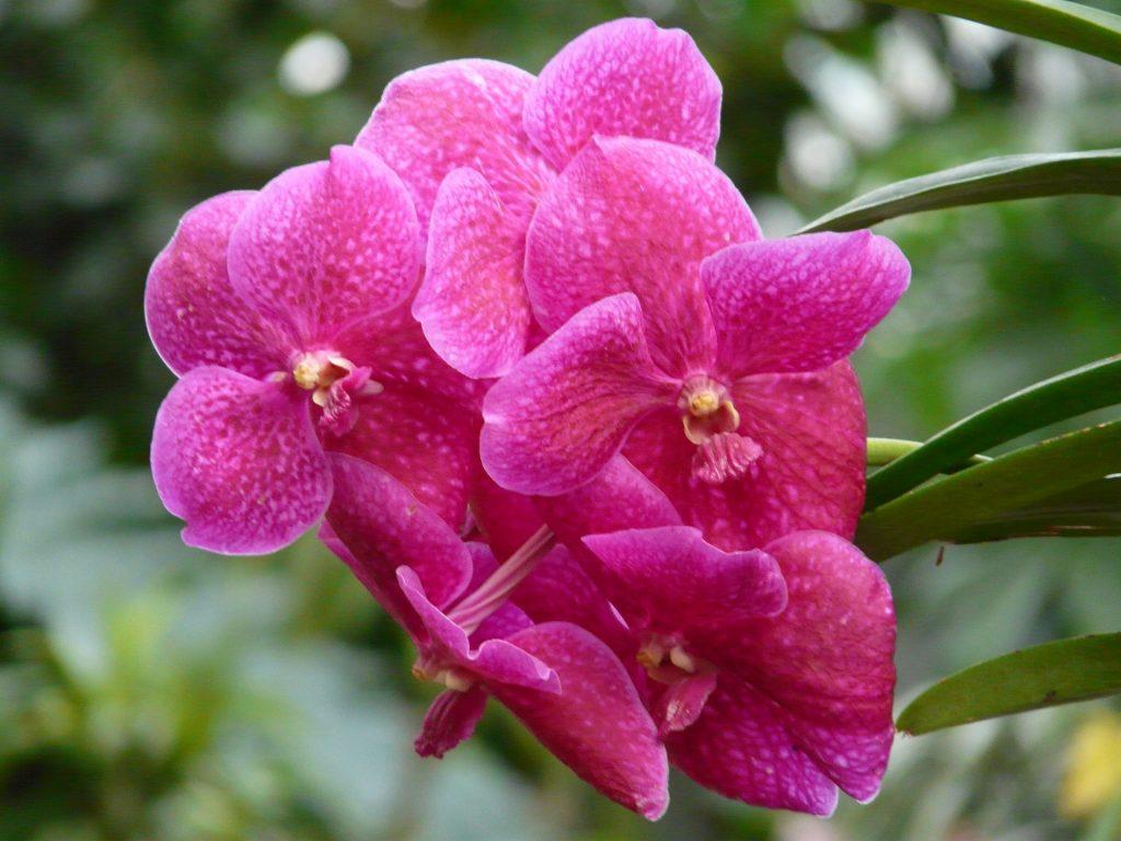 red vanda orchid 53076 1920 1024x768 - TIPOS DE ORQUÍDEAS
